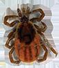 Blacklegged Tick Female