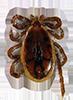 Blacklegged Tick Male